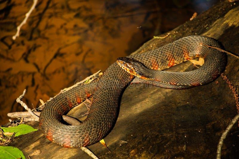 Serpente de água de Brown no sol fotos de stock royalty free
