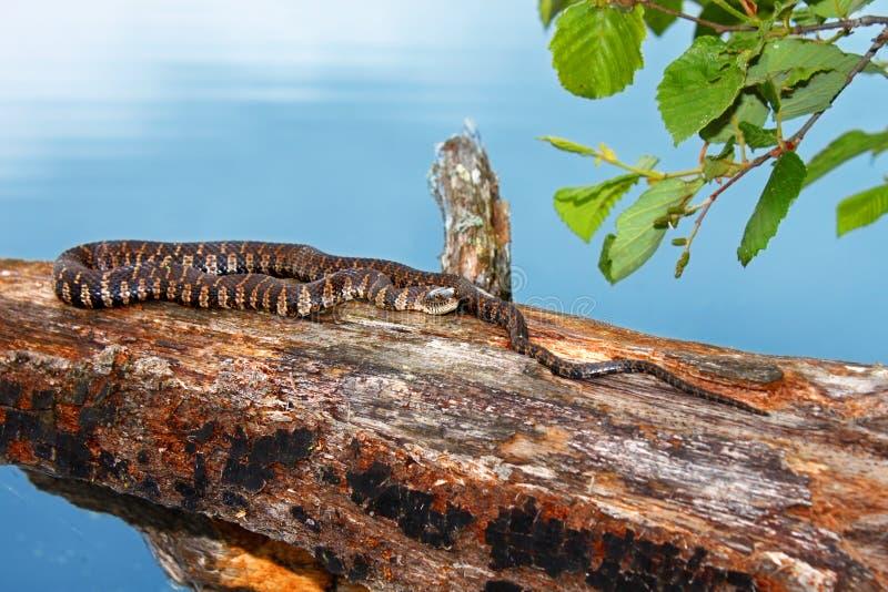 Serpente de água do norte Northwoods Wisconsin imagens de stock