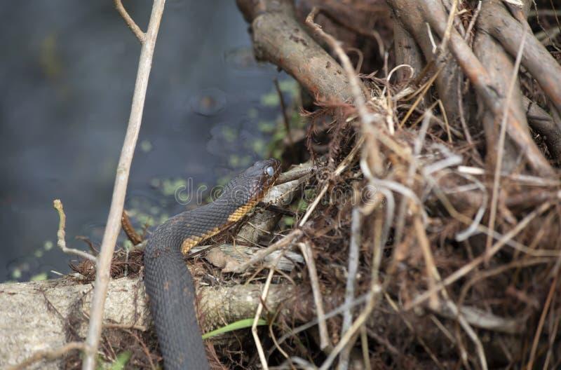 Serpente de água que expõe-se ao sol em um log imagem de stock