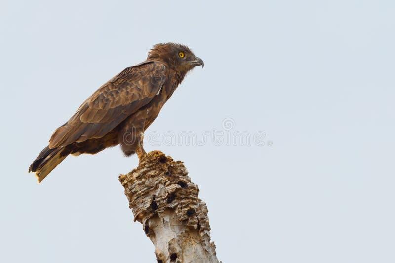 Serpente de Brown & x28; Harrier& x29; Eagle imagens de stock