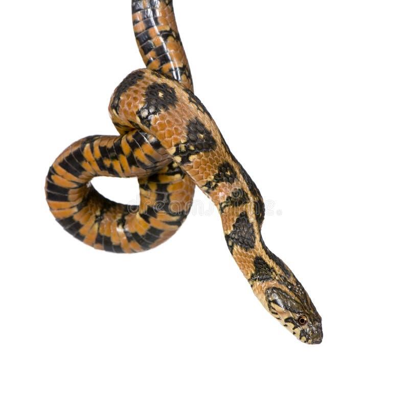 Serpente de chicote verde, viridiflavus de Hierophis fotografia de stock