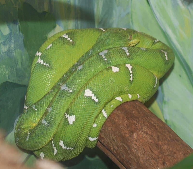 Serpente de Emerald Tree Boa fotos de stock royalty free