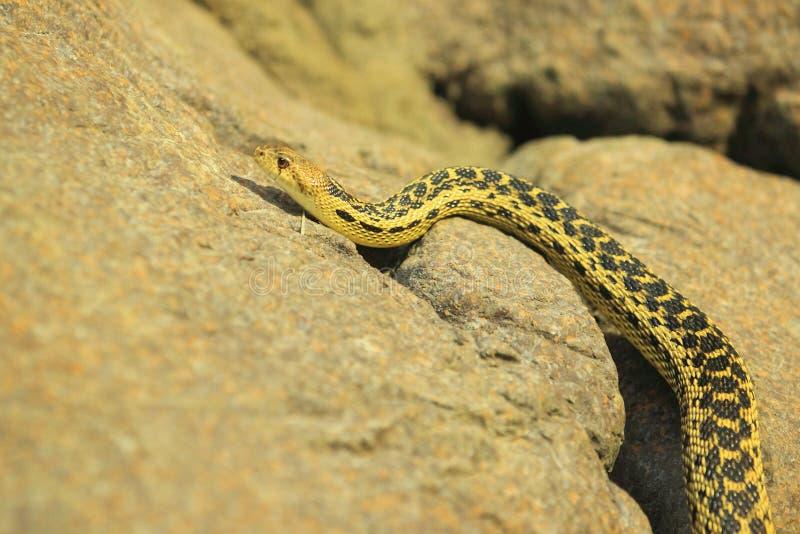 Serpente de Gopher fotografia de stock