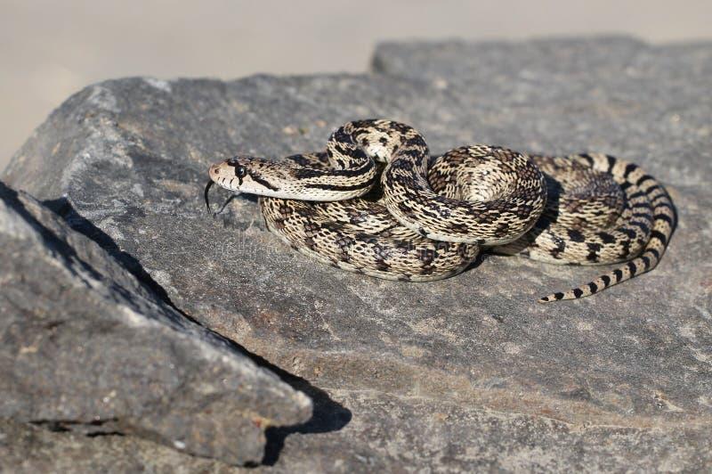 Serpente de Gopher em uma rocha fotografia de stock