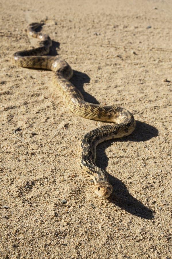 Serpente de Gopher na estrada fotos de stock