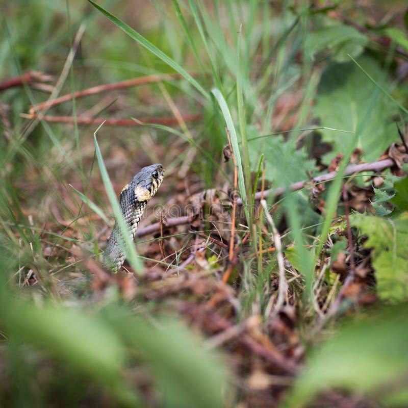 Serpente de grama