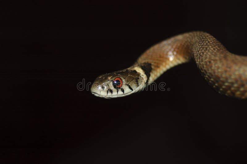 Serpente de grama fotografia de stock royalty free