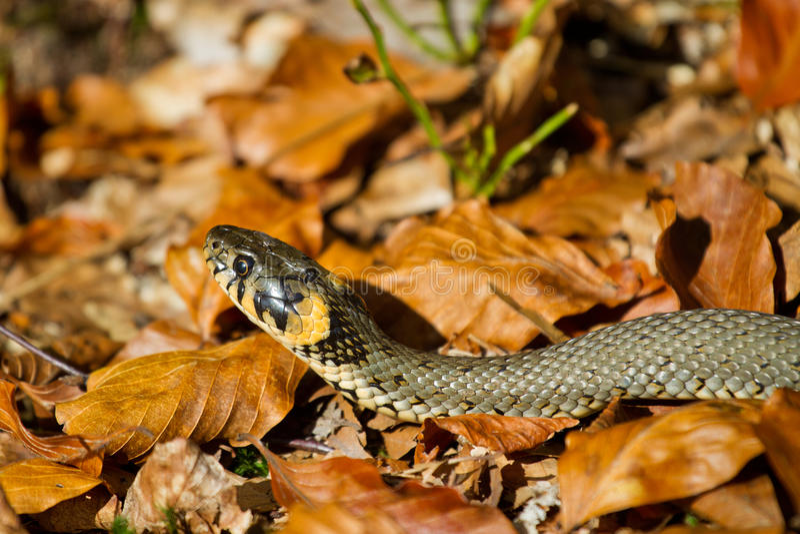 Serpente de grama fotos de stock