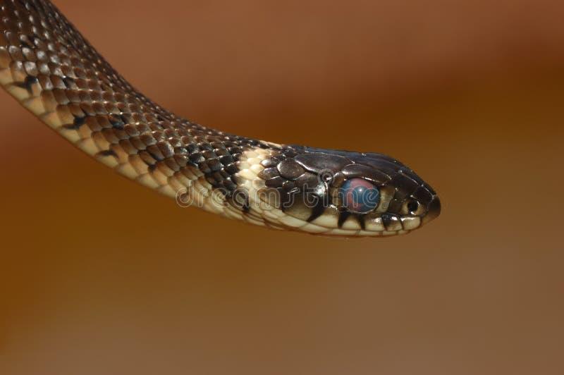 Serpente de grama (natrix do Natrix) fotos de stock royalty free