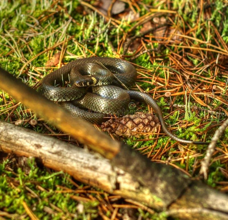 Serpente de grama - natrix do Natrix fotografia de stock