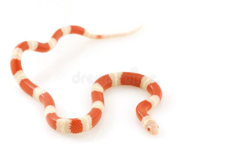 Serpente de leite do ½ s do ¿ de Nelsonï do albino imagens de stock