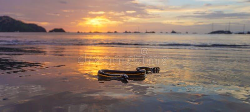 Serpente de mar inchada amarelo 2 fotografia de stock royalty free