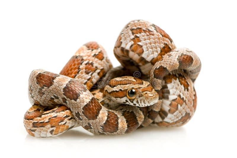 Serpente de milho fotografia de stock royalty free
