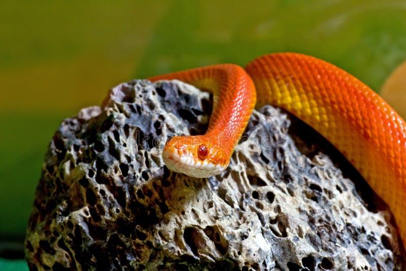 Serpente de milho de Sunglow na rocha fotografia de stock royalty free