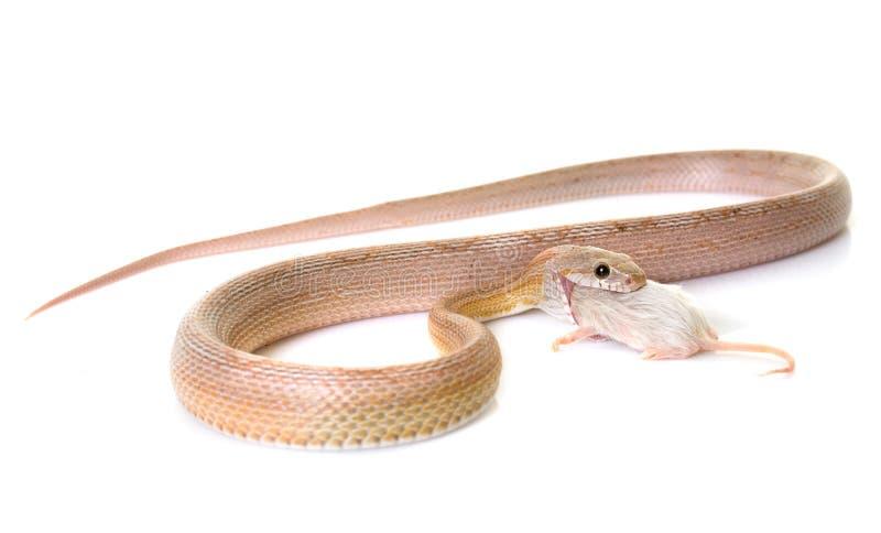 Serpente de milho que come o rato fotos de stock