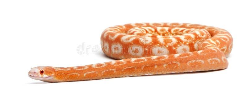 Serpente de milho Scaleless, Pantherophis Guttatus imagens de stock