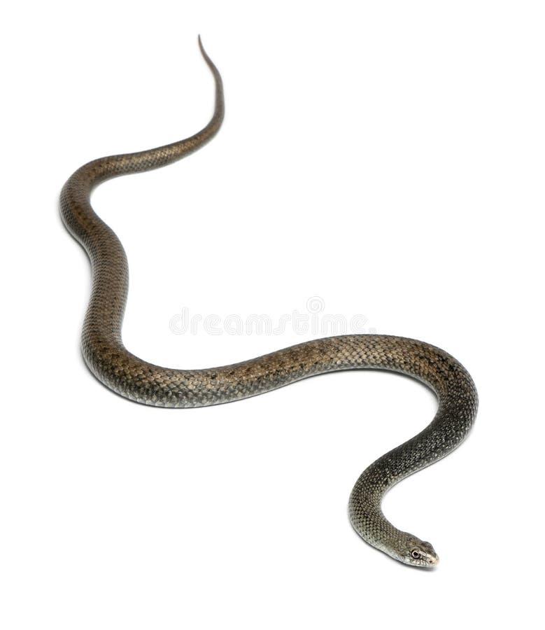 Serpente de Montpellier - monspessulanus de Malpolon imagem de stock royalty free