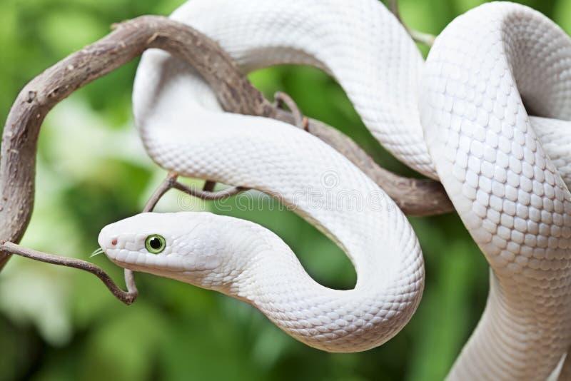 Serpente de rato branca de Texas em um ramo de madeira imagem de stock royalty free
