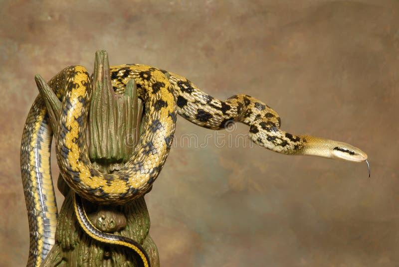 Serpente de rato da beleza de Formosa em Brown foto de stock