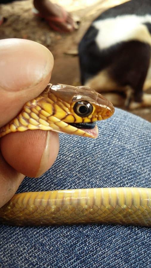 Serpente de rato indiana comum imagem de stock