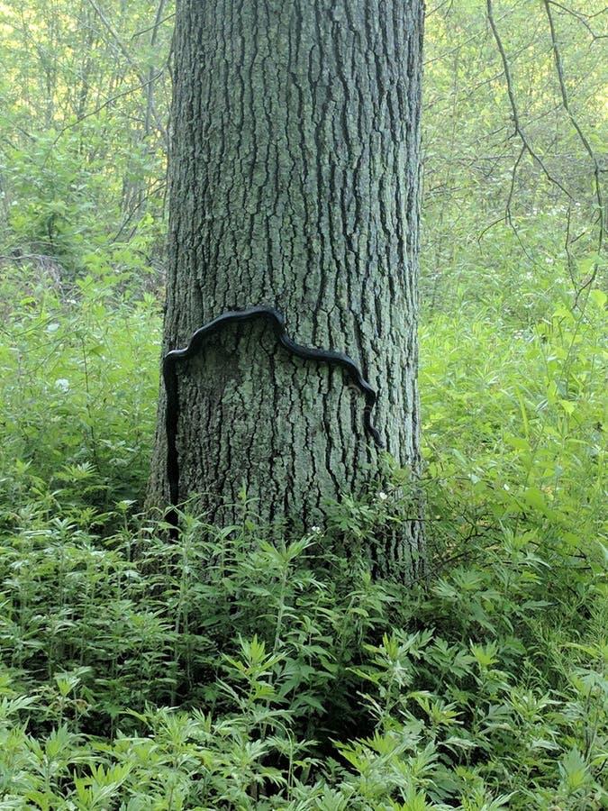 Serpente de rato na árvore imagens de stock