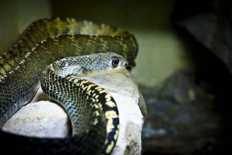 Serpente de rato oriental fotografia de stock royalty free