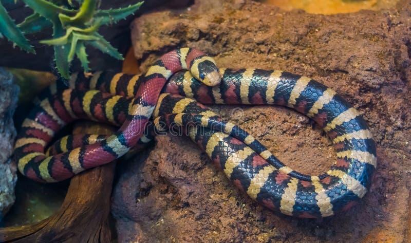 Serpente de rei da montanha do Arizona no close up, serpente tropical colorida vibrante de Am?rica, animal de estima??o popular n imagens de stock
