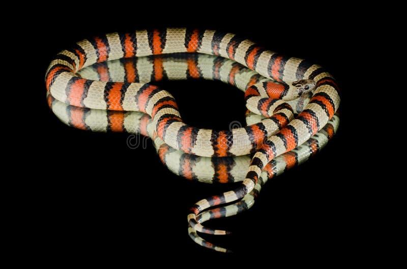 Serpente de rei de Perfeck no espelho fotos de stock