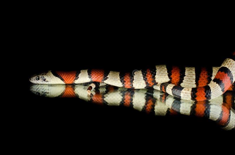 Serpente de rei de Perfeck no espelho foto de stock