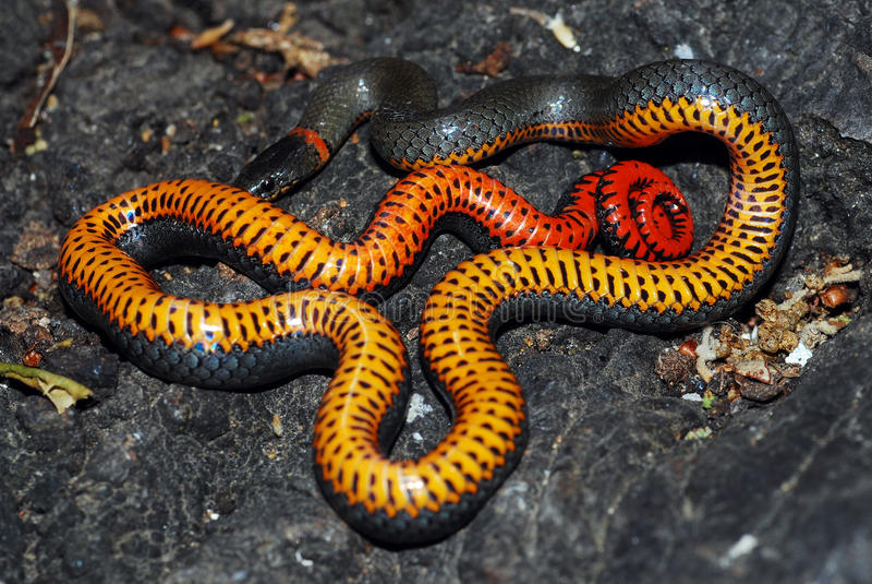A serpente de Ringneck mostra sua barriga como um indicador da ameaça imagens de stock royalty free