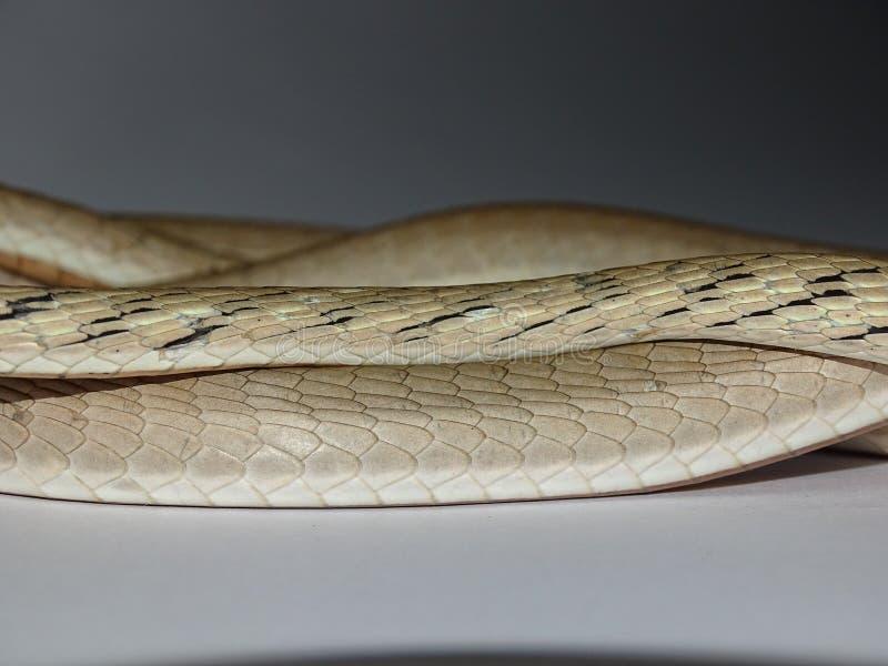 A serpente de videira Brown morph a escala imagens de stock