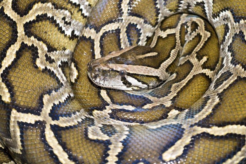 Serpente del boa fotografie stock libere da diritti