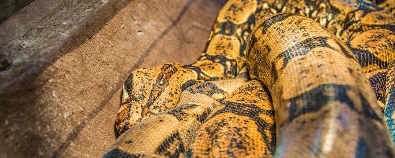 Serpente del boa constrictor nel suo habitat immagine stock