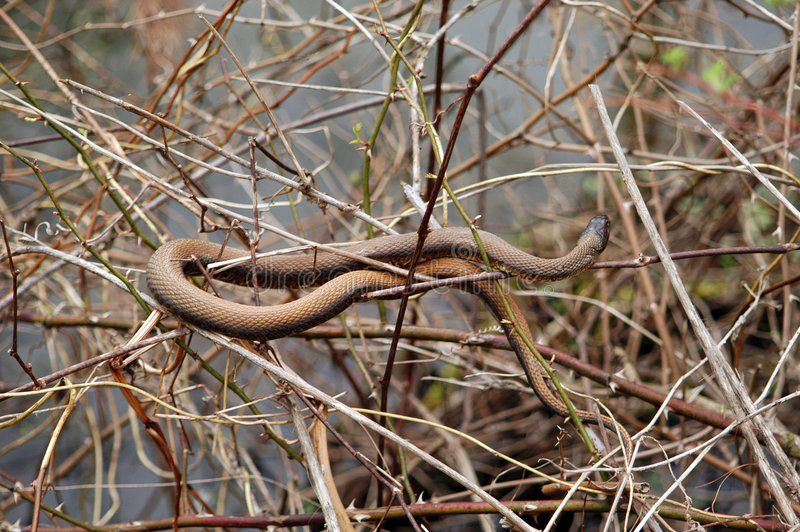 Serpente Del Brown Immagini Stock
