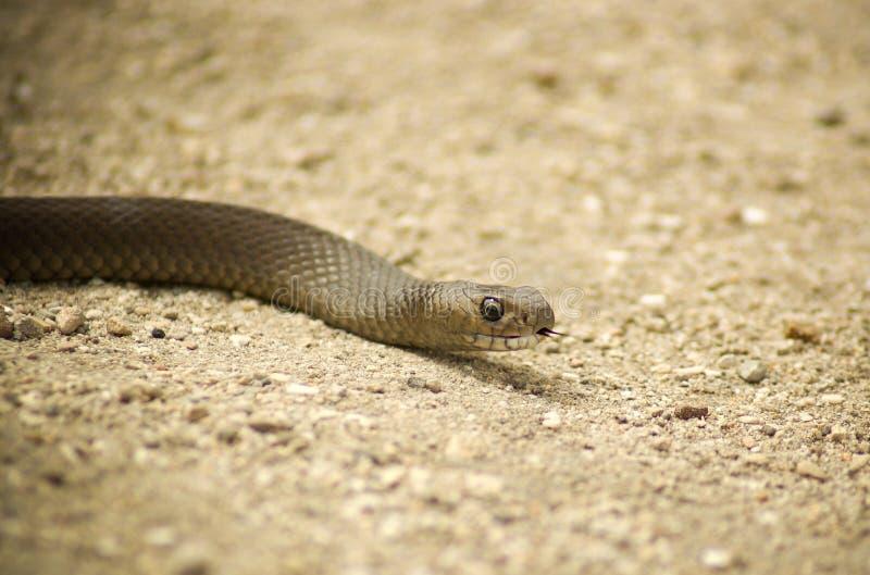 Serpente del Brown sulla sabbia immagini stock