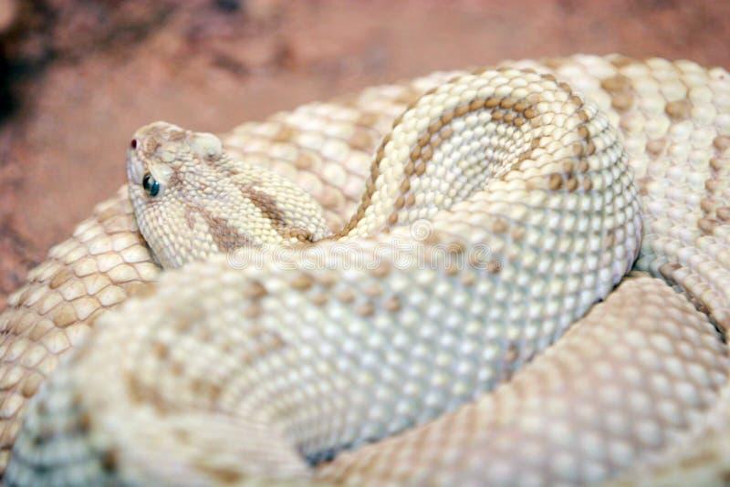 Serpente del pitone fotografie stock