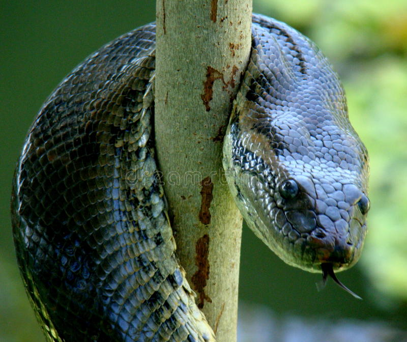Serpente dell'anaconda arrotolato immagini stock