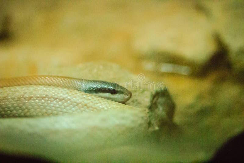 Serpente della bellezza di Ridley, ratsnake dell'abitazione di caverna, corridore della caverna (Orthr fotografia stock