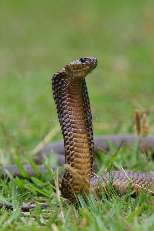 Serpente della cobra del capo immagini stock libere da diritti