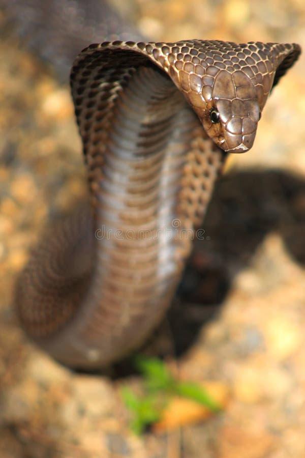 Serpente della cobra in India fotografie stock