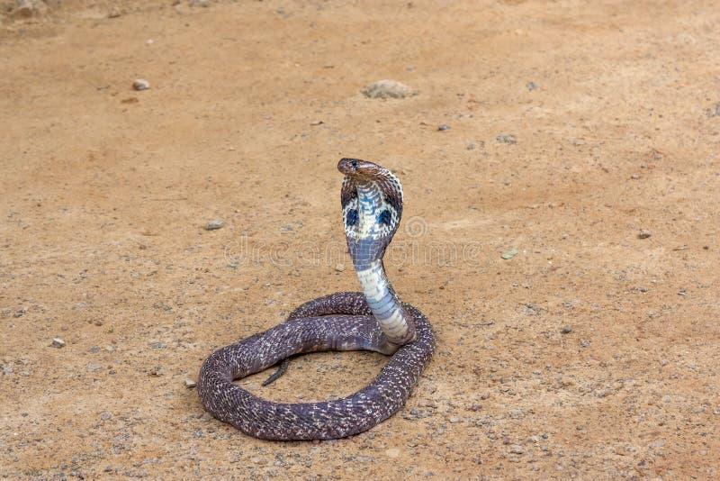 Serpente della cobra reale immagine stock