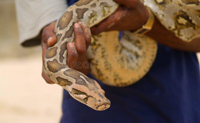 Serpente della holding dell'uomo immagini stock libere da diritti