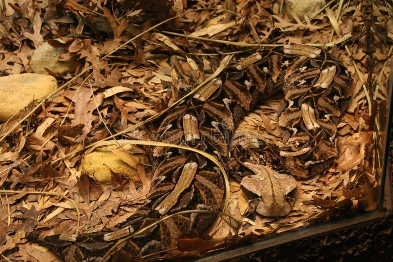 Serpente della vipera di Gaboon immagine stock libera da diritti