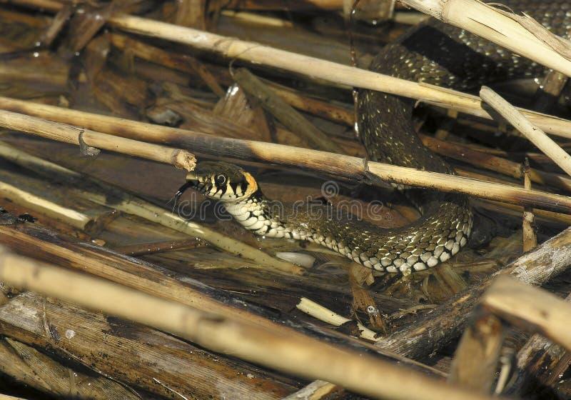 Serpente di acqua fotografia stock