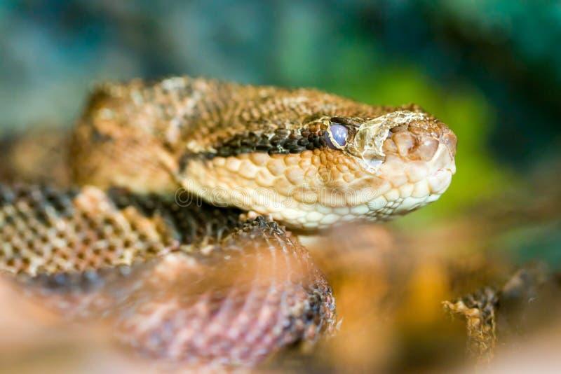 Serpente di Atrox del Bothrops fotografie stock