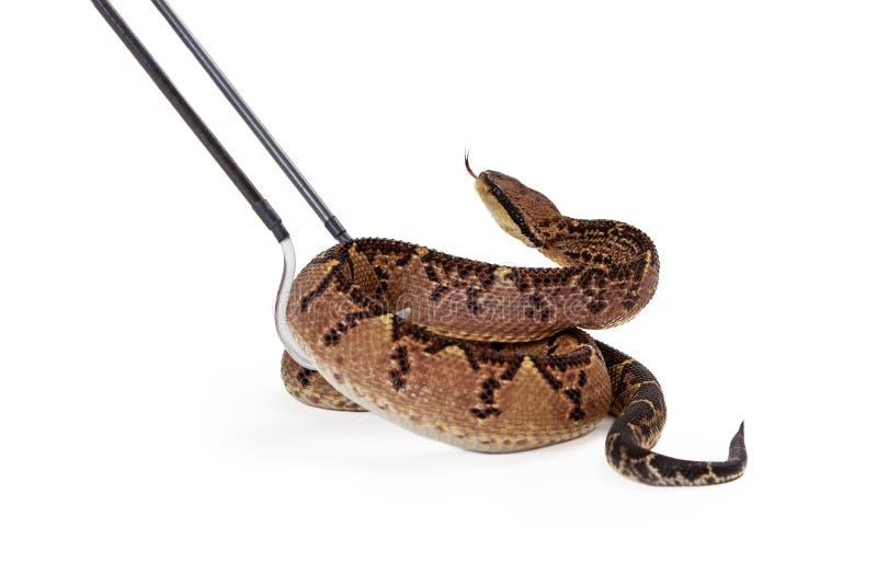 Serpente di Bushmaster del centroamericano che è preso  fotografia stock