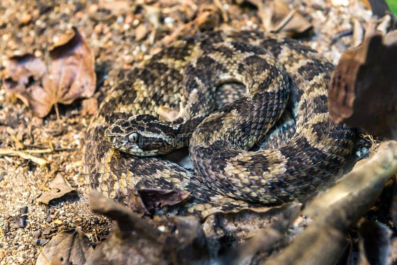 Serpente di Caatinga Lancehead (Bothrops Erythromelas) sulla terra fotografia stock libera da diritti