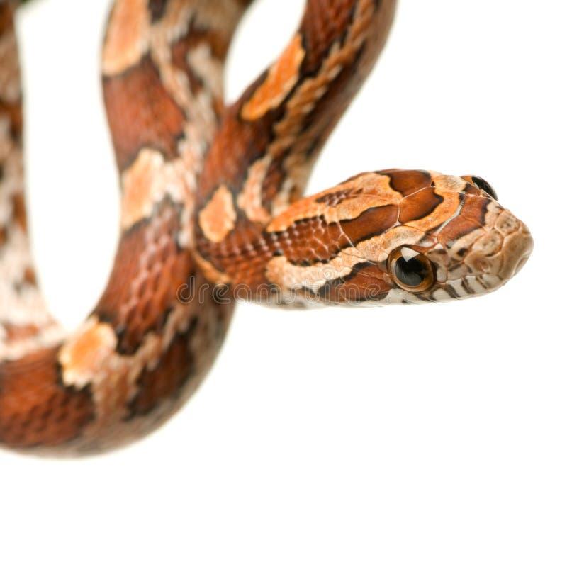 Serpente di cereale fotografia stock libera da diritti