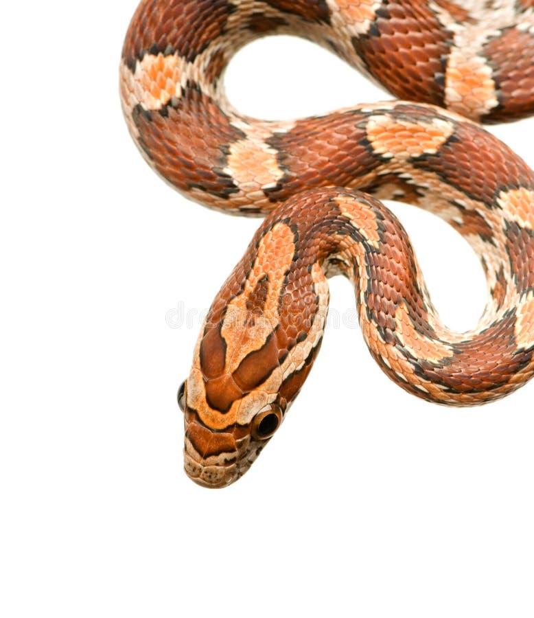 Serpente di cereale immagine stock libera da diritti