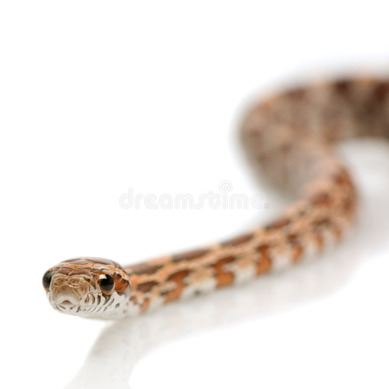 Serpente di cereale immagine stock